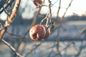manzanas podridas de Schiller